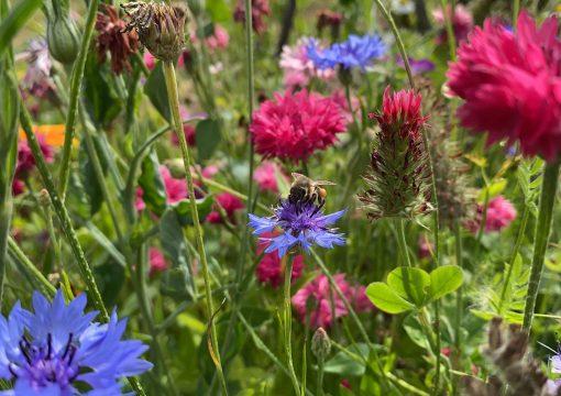 Die Bienenwiese 2021 – Es blüht und summt