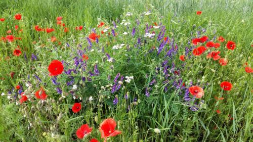 Blumen, Klatschmon und Lavendel