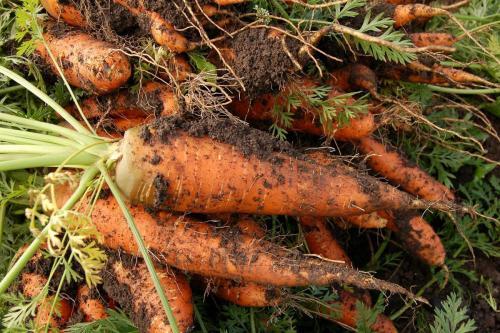 Karotten/Moehren