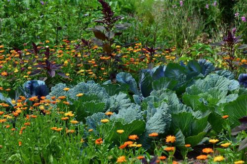 Kohl, Ringelblume und Fuchsschwanz anbau im Garten