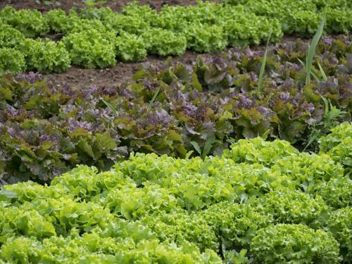 Beet mit verschiedenen Salaten