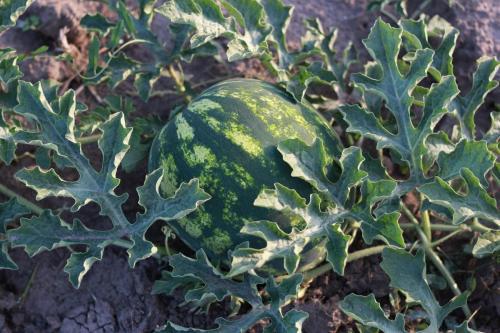 Anbau von Wassermelonen