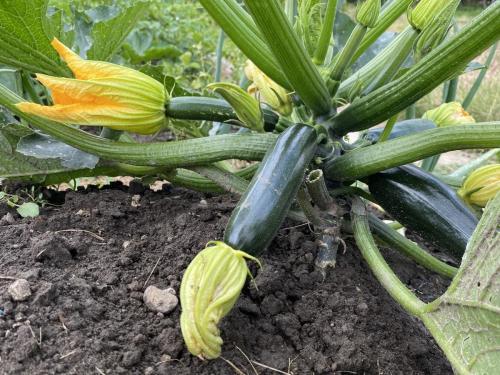 Zucchini anbau