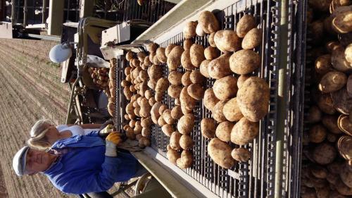 Kartoffelsortieren, aus der Erde auf´s Band